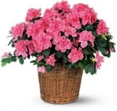 Azalea in basket by Arrington Flowers, Your Rocky Mount, VA Florist