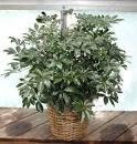 8' Arbicola plant in basket by Arrington Flowers, Your Rocky Mount, VA Florist