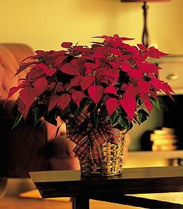 "8"" Red Poinsettia by Arrington Flowers, Your Rocky Mount, VA Florist"