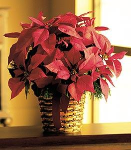 "6"" Red Poinsettia by Arrington Flowers, Your Rocky Mount, VA Florist"