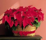 Double Poinsettia Basket by Arrington Flowers, Your Rocky Mount, VA Florist