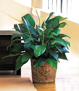 "8"" Spathiphyllum by Arrington Flowers, Your Rocky Mount, VA Florist"