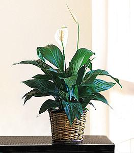 "6"" Spathiphyllum by Arrington Flowers, Your Rocky Mount, VA Florist"